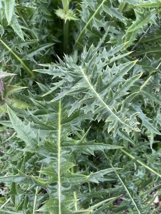 Acanthus hirsutus subsp. syriacus