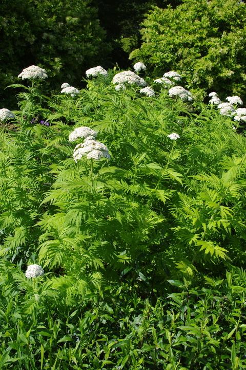 Achillea chrysocoma 'Grandiflora'