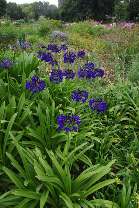 Agapanthus 'Marchants Cobalt Cracker'