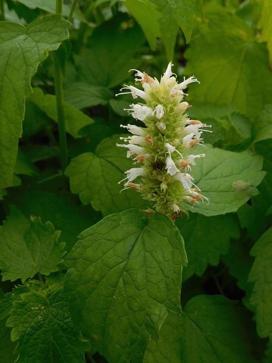 Agastache rugosa f. albiflora 'Liquorice White'