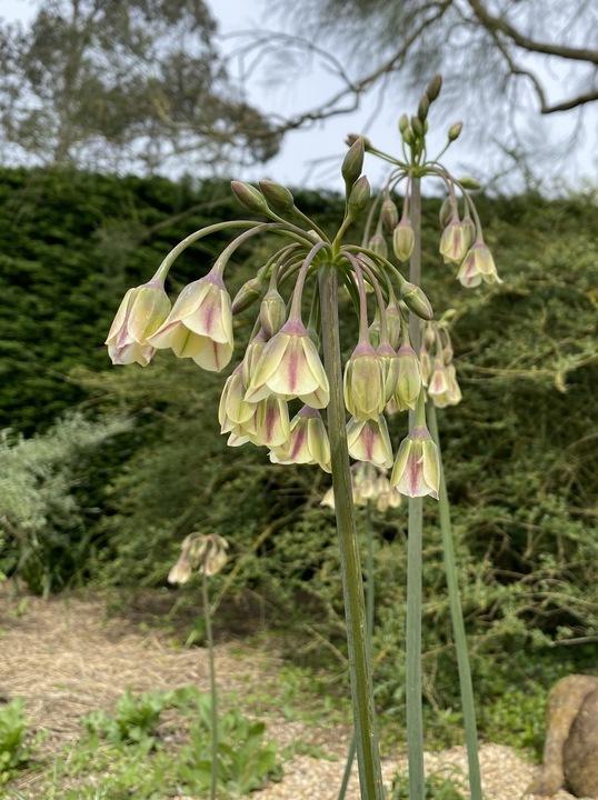 Allium siculum subsp. dioscoridis