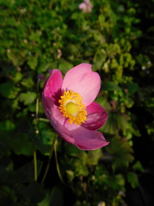 Anemone 'Annerose'