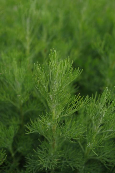 Artemisia abrotanum coca cola form