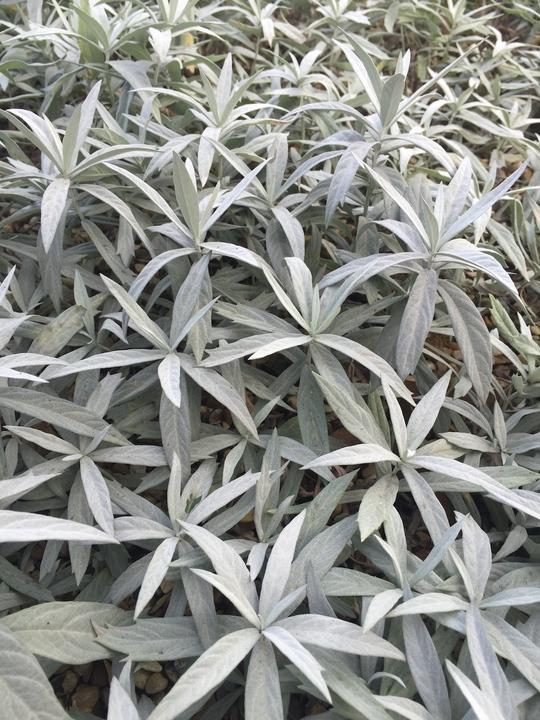 Artemisia ludoviciana 'Valerie Finnis'