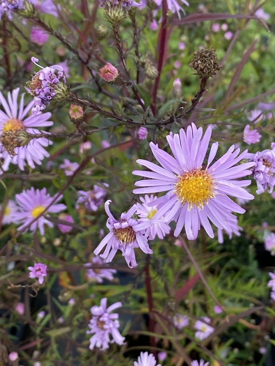 Aster 'Ice Cool Pink'