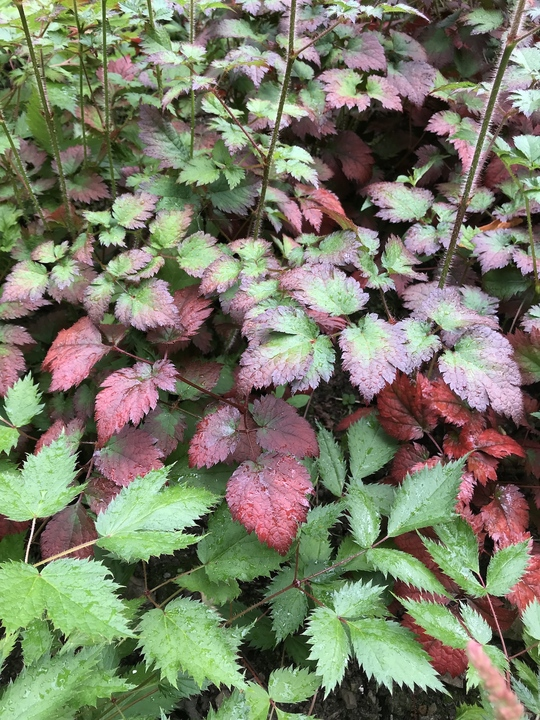 Astilbe 'Beauty of Ernst' (x arendsii)
