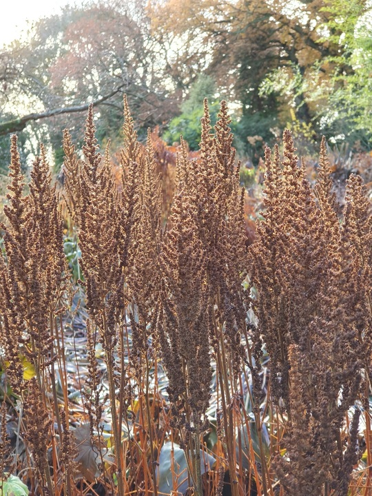 Astilbe chinensis var. pumila