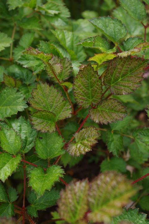 Astilbe chinensis var. taquetii 'Purpurlanze'