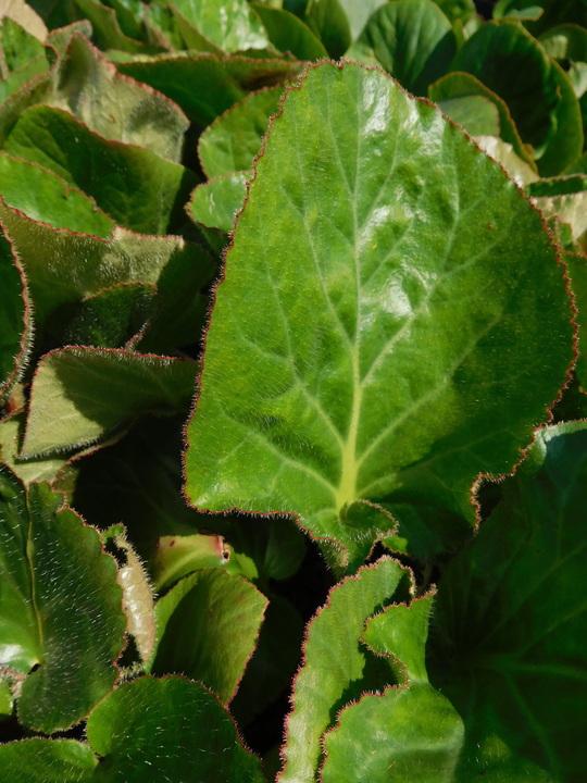 Bergenia pacumbis