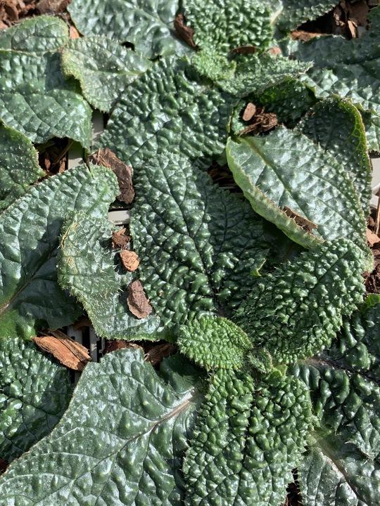 Borago pygmaea