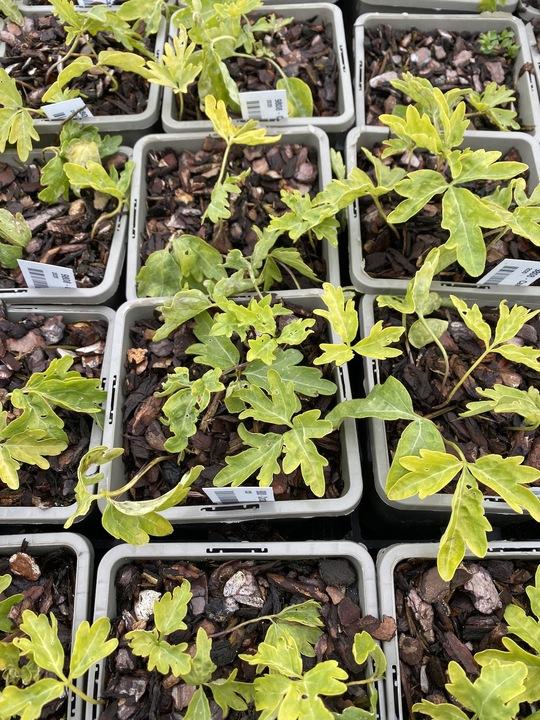 Cardamine diphylla 'Eco Cut Leaf'
