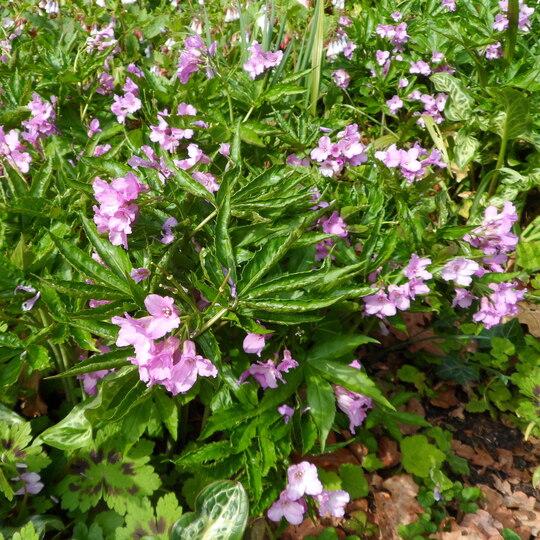 Cardamine pentaphylla