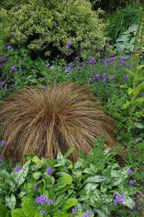 Carex petriei