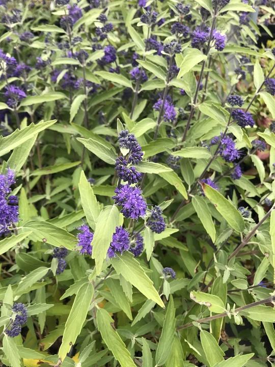 Caryopteris × clandonensis 'Longwood Blue'