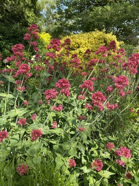 Centranthus ruber 'Atrococcineus'