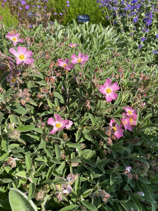 Cistus × lenis 'Grayswood Pink'