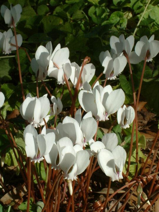 Cyclamen hederifolium var. hederifolium f. albiflorum'