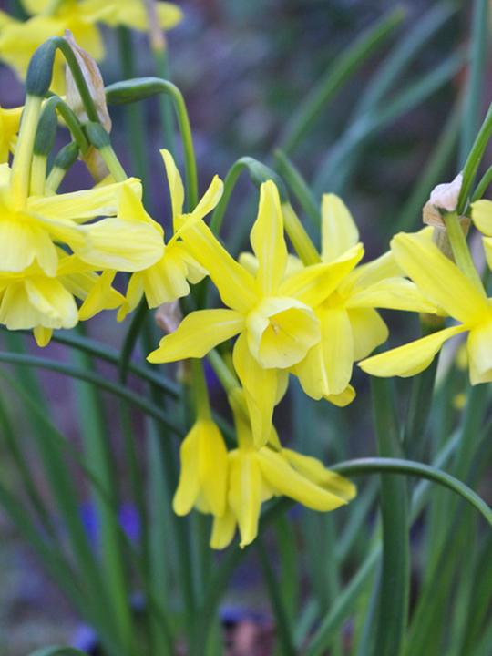 Narcissus 'Hawera'