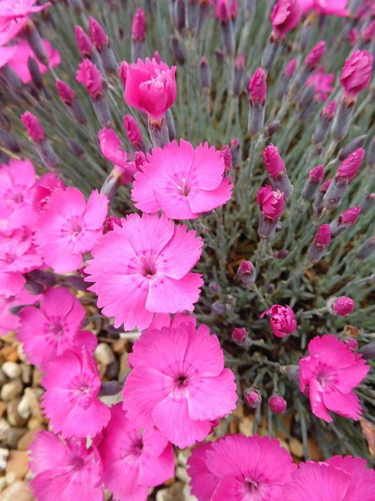 Dianthus bright pink
