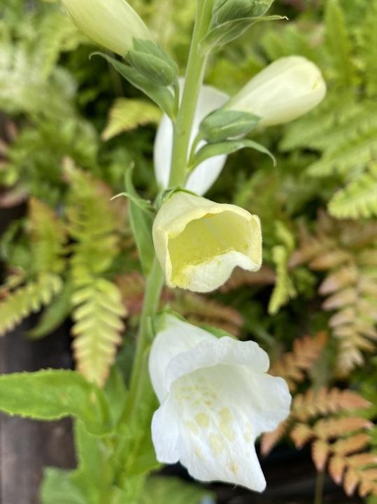 Digitalis purpurea 'Camelot White'
