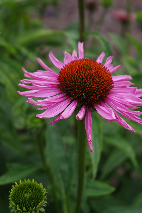 Echinacea purpurea 'Magnus'