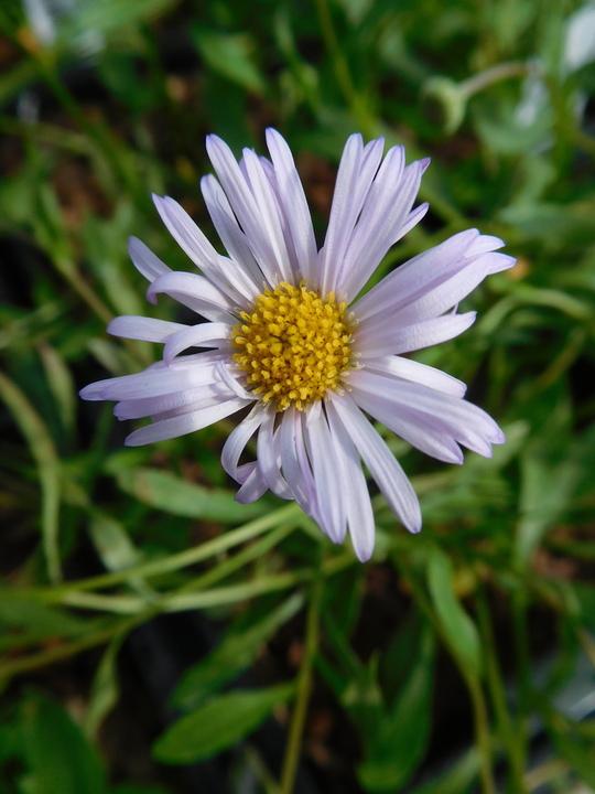 Erigeron karvinskianus 'Lavender Lady'