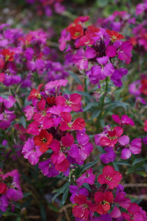 Erysimum 'Jacob's Jacket'