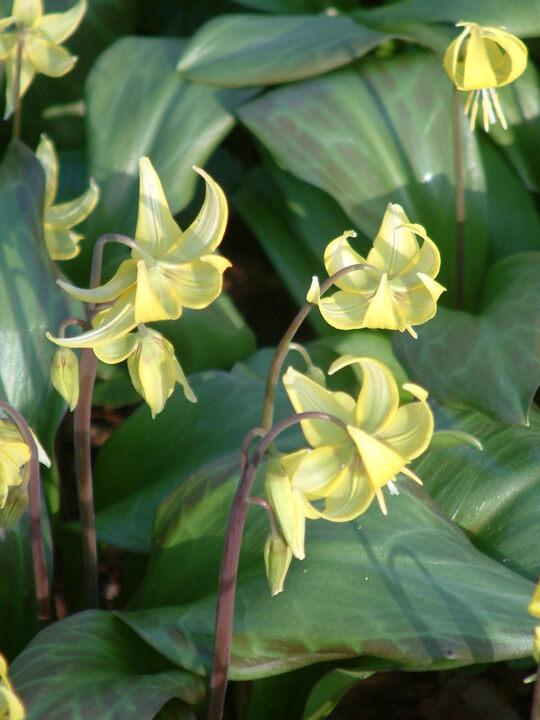 Erythronium 'Sundisc'