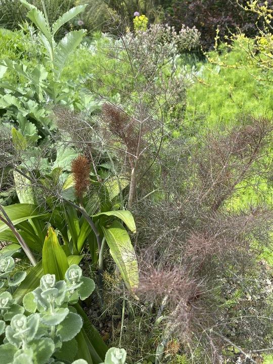 Foeniculum vulgare 'Smoky'