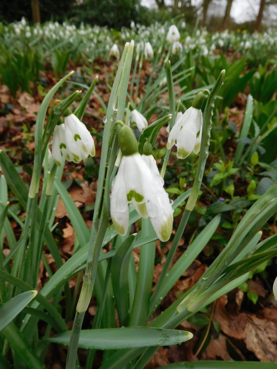 Galanthus nivalis 'Viridapice' x 3 bulbs