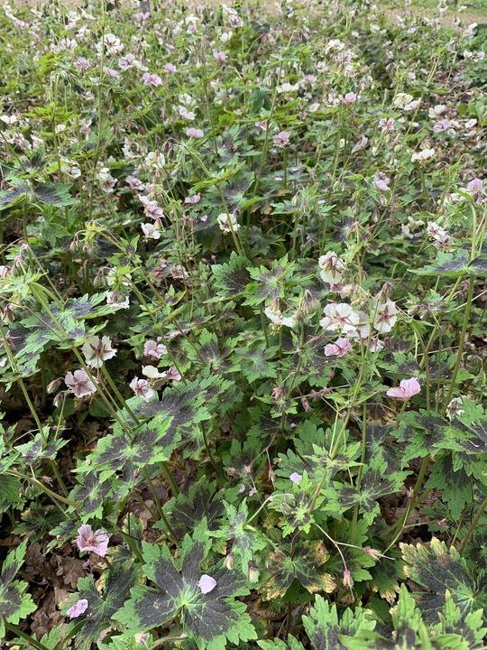 Geranium phaeum 'Misty Samobor'