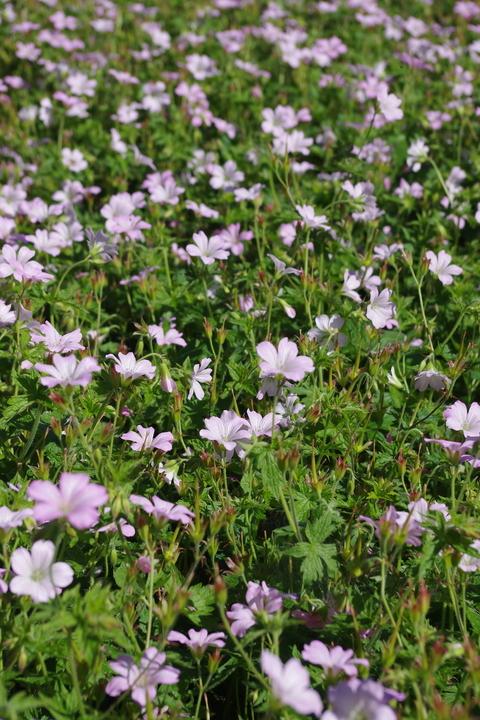 Geranium x oxonianum 'Rebecca Moss'