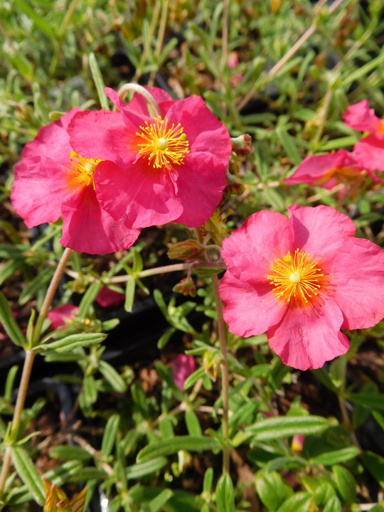 Helianthemum 'Sudbury Gem'