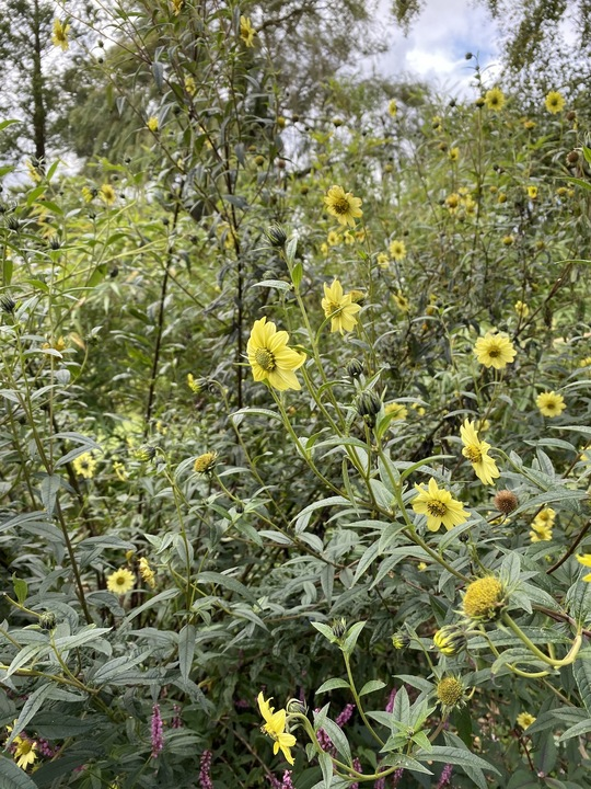 Helianthus giganteus 'Sheila's Sunshine'