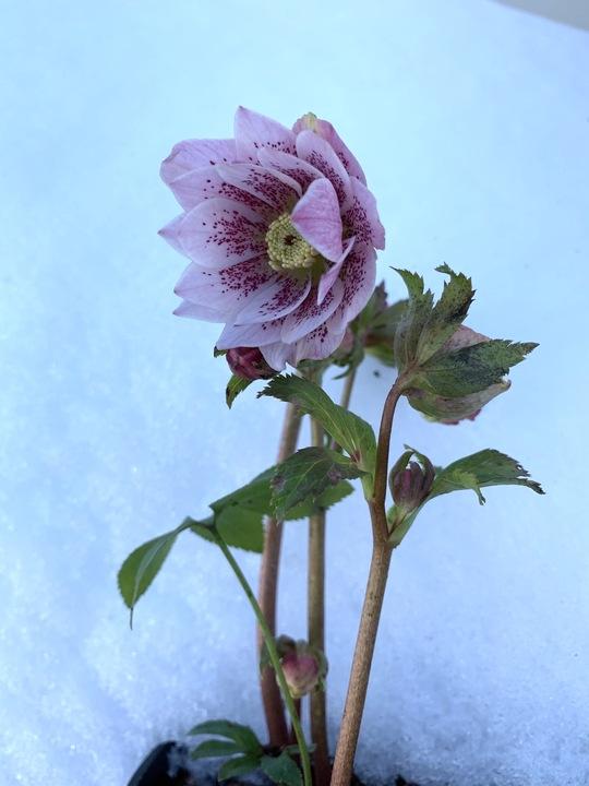 Helleborus Double Flowered 1 Litre