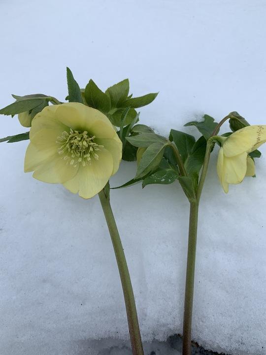 Helleborus Single Flowered 1 Litre
