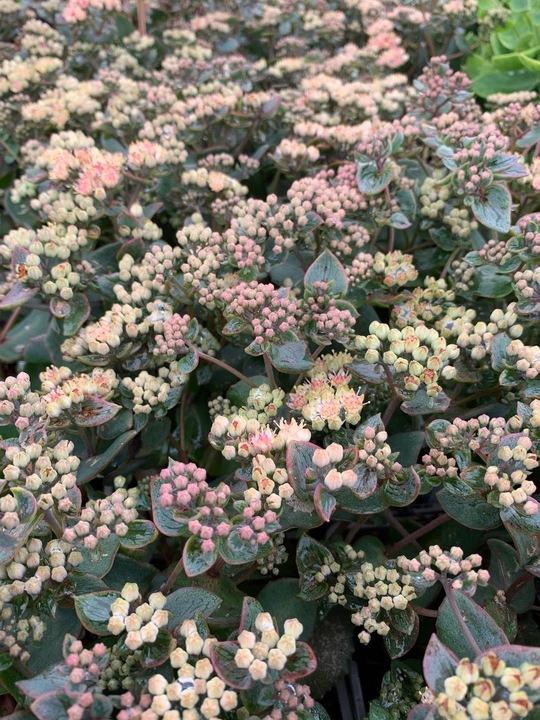 Hylotelephium telephium subsp. ruprechtii  'Pink Dome'