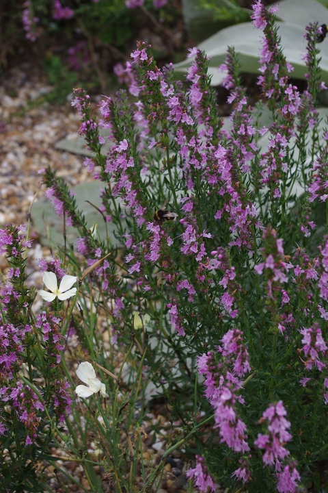 Hyssopus officinalis 'Roseus'