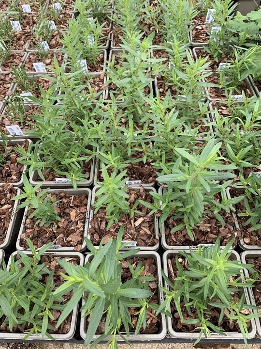 Hyssopus officinalis subsp. aristatus