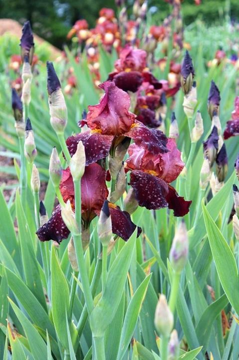 Iris 'Benton Caramel'
