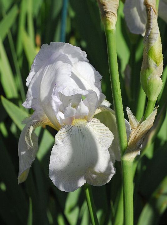 Iris 'Benton Opal'