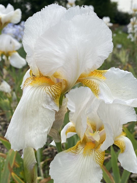 Iris 'Benton Pearl'