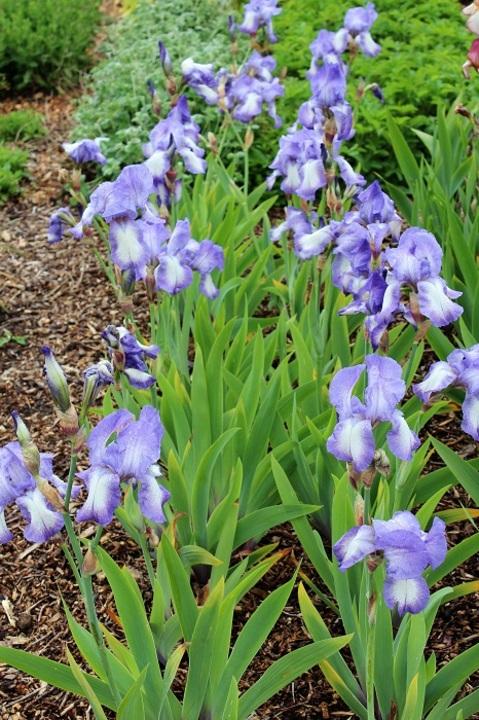 Iris 'Blue Shimmer'