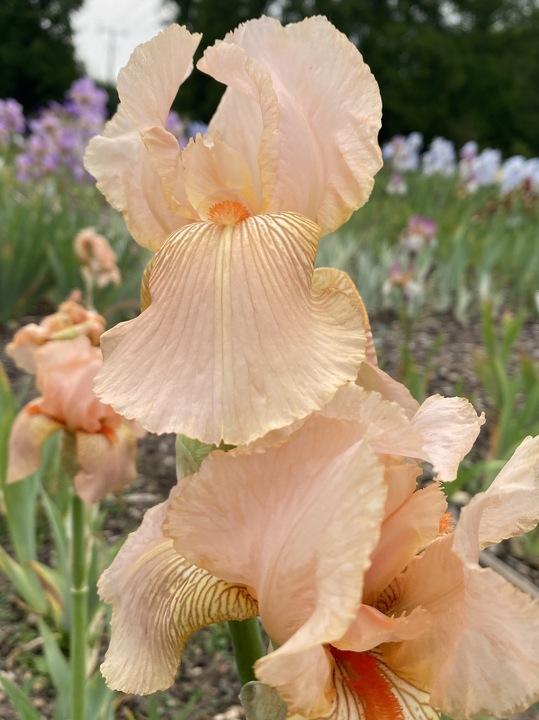 Iris 'Crathie'