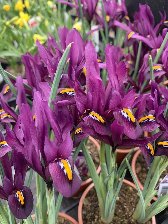 Iris 'JS Dijt' (Reticulata)