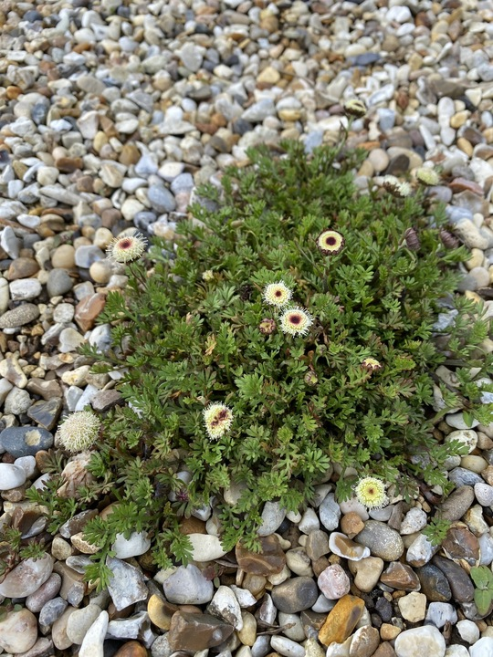 Leptinella 'County Park'
