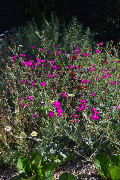 Lychnis 'Hill Grounds'