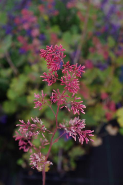 Macleaya microcarpa 'Spetchley Ruby'