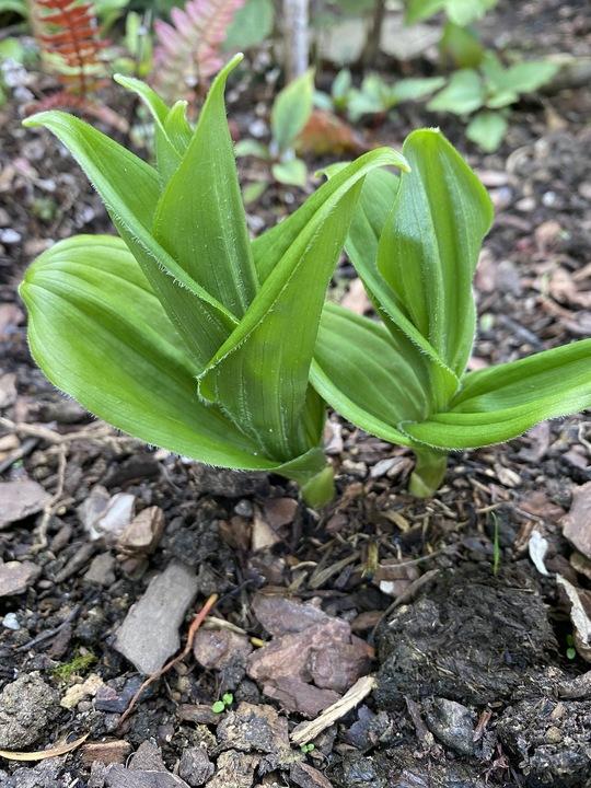 Maianthemum szechuanica (aff.) 1L