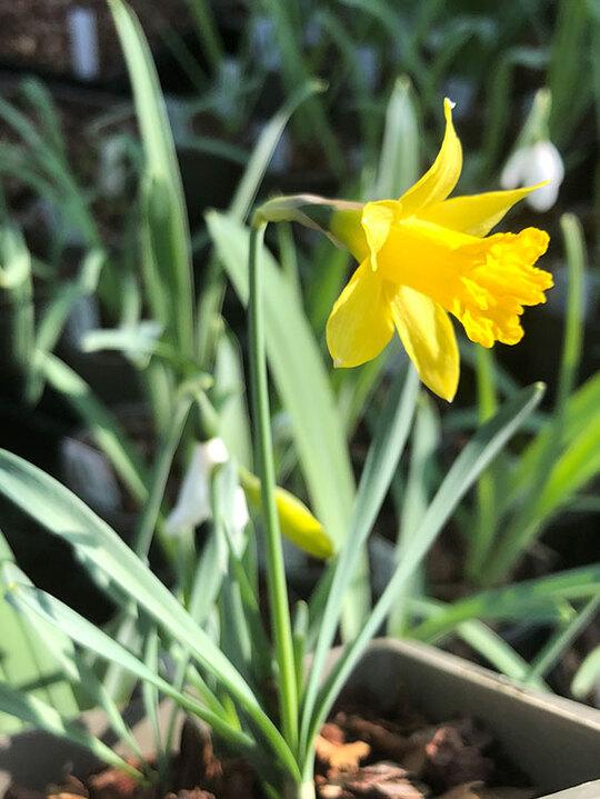 Narcissus minor